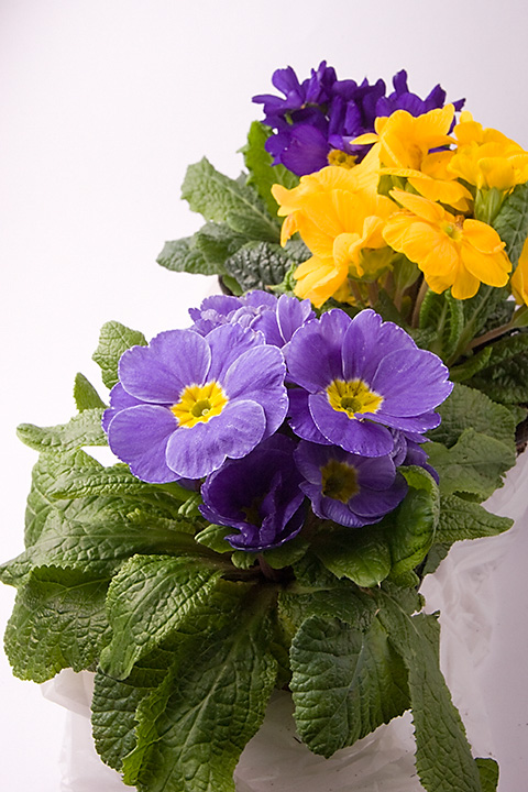 March 01 - Violets