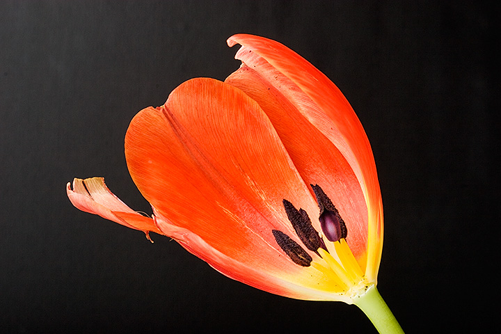 March 05 - Tulip, almost gone.