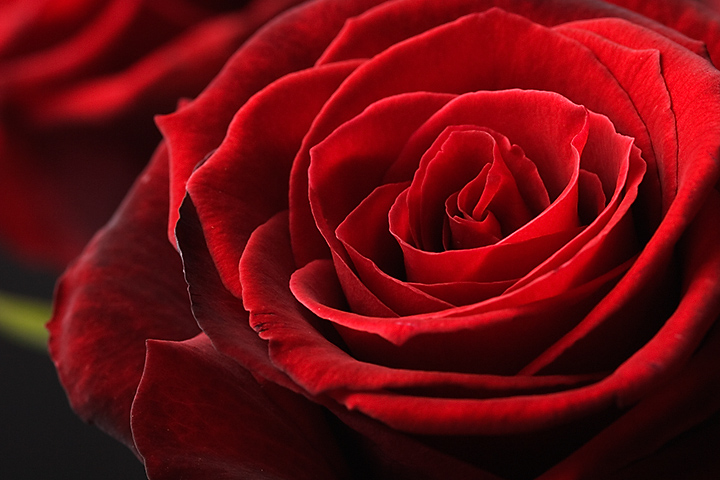 March 14 - Red rose