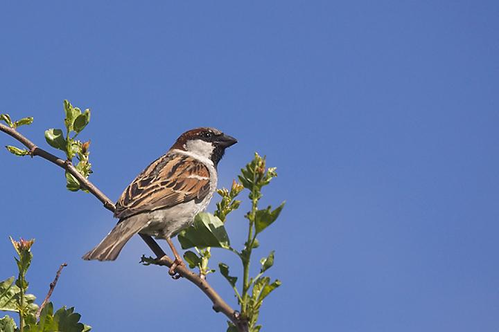 April 22 - Sparrow