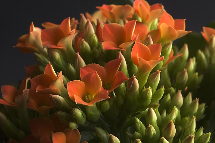 May 07 - Orange kalanchoe