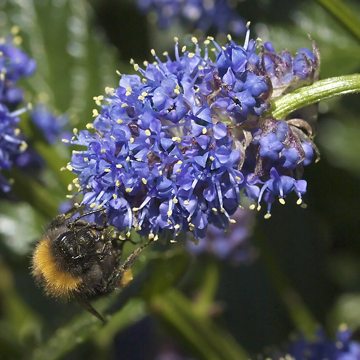 May 12 - Bee and blue