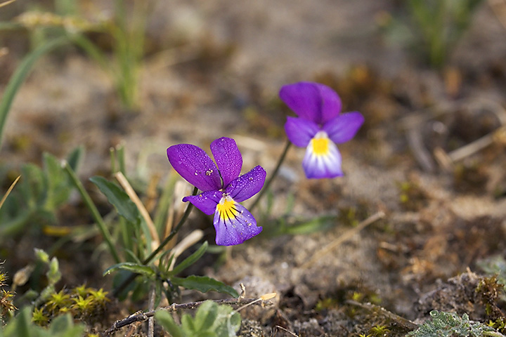 May 19 - Viola curtisii