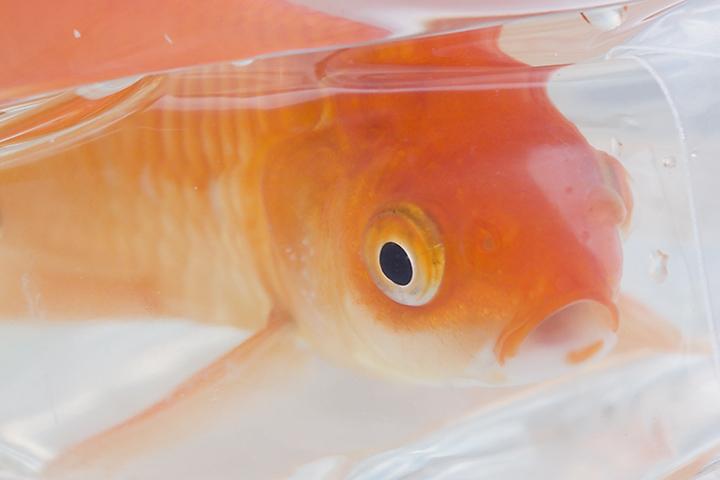 Jul 08 - Goldfish