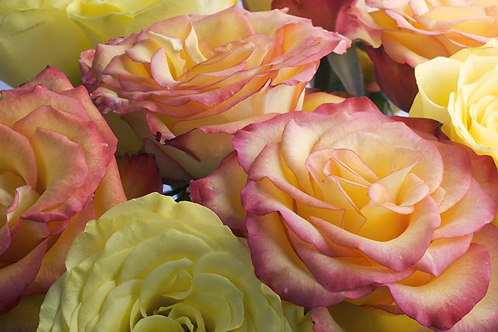 Jul 25 - Roses