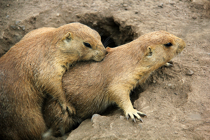 Aug 8 - Prairie Dogs... Wrestling