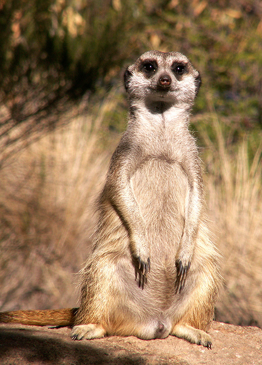 Werribee-meerkats-002-copy.jpg